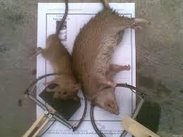 Cách diệt chuột hiệu quả nhất